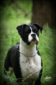 boxer dog breeders near me topline boxers welcomes you to our home
