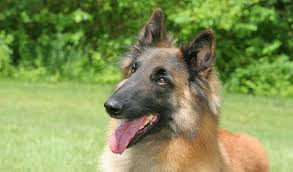 belgian shepherd how much belgian tervuren breed information