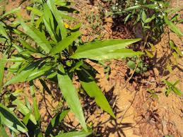 plant compound u0027much more effective u0027 than traditional anti hiv drug