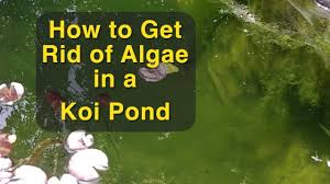 how to get rid of algae in a koi pond youtube