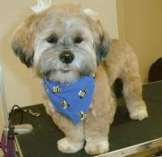 shih poo haircuts more before after groom pics