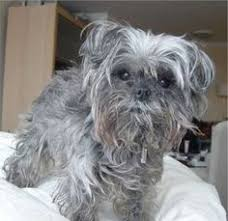 affenpinscher rescue seattle best cute small dogs affenpinscher 10 best cute small dogs dogs