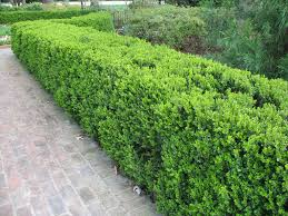 hedging plants budget wholesale nursery blog
