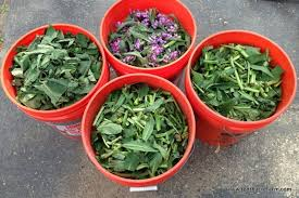 what is comfrey and how to grow it tenth acre farm