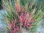 Image result for Ephedra dahurica