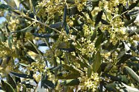 alergias málaga alergologo infantil y adultos olive tree 2 000