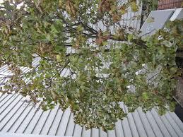 diseased lilac bush ask an expert