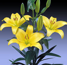 Yellow Lilies Burnside Village Flowers Wrapped Asiatic Lilies