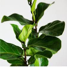 fiddleleaf fig fiddle leaf fig with fiddleleaf fig excellent