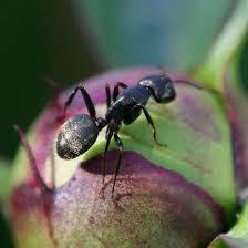 Ants In Backyard Best 25 Killing Ants Ideas On Pinterest Borax To Kill Ants