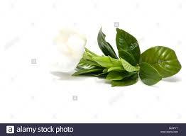 close up of gardenia flower gardenia jasminoides on white stock