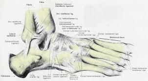Anterior Distal Tibiofibular Ligament Anatomy U0026 Physiology Illustration