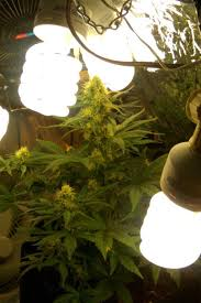 cfl lights for growing weed 213 best autoflowers images on pinterest killing weeds plants and