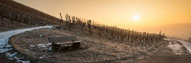 Vineyard Bench Sunrise In A Vineyard With Vines In Winter Royalty Free Stock