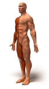 Anatomy Of Body Muscles Human Body Muscles