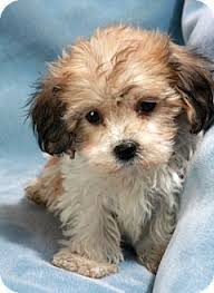 bichon frise puppy 8 weeks the 12 best images about yochon on pinterest chloe yorkie and i