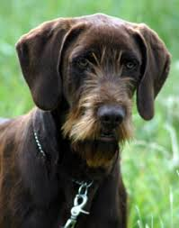 afghan hound poodle cross more info about the pudelpointer puppies temperament and breeders