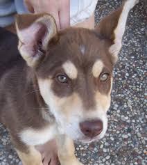 australian shepherd husky puppy german shepard husly mix puppies need help husky gsd mix