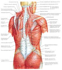 Anatomy Of Human Back Muscles Anatomy Of The Back Muscles And Nerves Human Anatomy Diagram