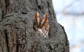 owl in tree 11056 wall paper