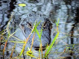 2 gray black and yellow alligator free image peakpx