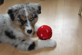australian shepherd vocal can your dog solve these puzzles