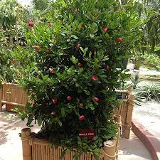 tropical fruit plants tropical fruit trees fast growing trees