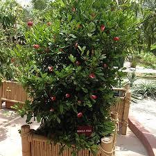 houston fruit tree sale miracle fruit plant miracle fruit plants for sale fast growing