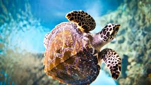 animals turtle sea ocean underwater animal wallpaper gallery for