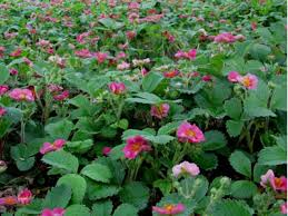 buy fragaria ananassa lipstick lipstick ornamental strawberry