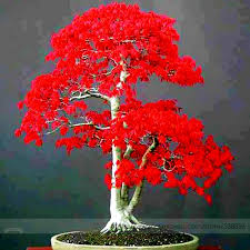 100 true japanese maple bonsai tree cheap seeds professional