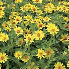 zinnias flowers profusion yellow zinnia seeds