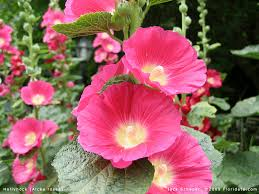 hollyhock flowers hollyhock images search hollyhock