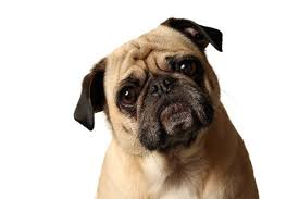 Confused Dog Meme - confused pug dog meme generator