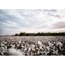 digital backdrops cotton field digital backdrop 1