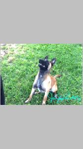 belgian sheepdog breeders pa cali u0027 van armstrong belgishche makinois k9s