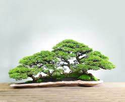 best 25 bonsai forest ideas on bonsai trees bonsai
