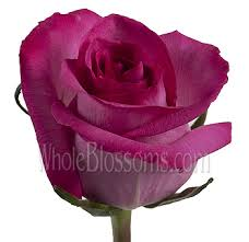 hot pink roses bulk purple cezanne hot pink roses wholesale