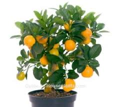 care for calamondin orange citrus tree