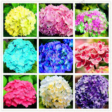 ship flowers free ship 25pcs pack hydrangea seed balcony potted flowers