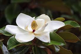 meaning and symbolism of a magnolia flower magnolia