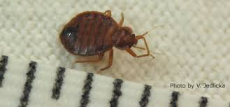 How To Check For Bed Bugs At Home Managing Bed Bugs Nebraska Extension In Lancaster County