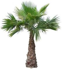 outdoor palm tree l mexican fan palms cold hardy palm trees garden outdoor spaces