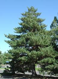scots pine could be symbol of the nation clan macaulay