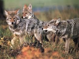 Rhode Island wild animals images Report on rabies in alaska 39 s fox population oregon and rhode jpg