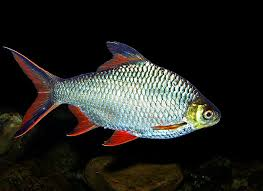 tinfoil barbs for arowana fish care tropical ornamental