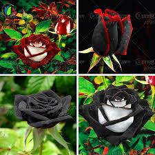 Black Rose Flower 100 Rare Rose Seeds Black Rose Flower With Red Edge Rare Rose