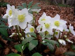 helleborus niger praecox winter roses pack of six hellebore