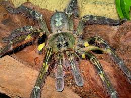 poecilotheria formosa salem ornamental tarantulas
