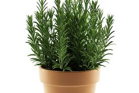 herbs indoors grow your herbs indoors using pots colorado country life magazine